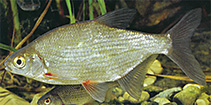 Image of Blicca bjoerkna (White bream)