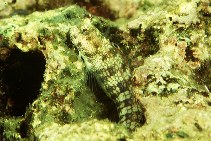 Image of Blenniella gibbifrons (Hump-headed blenny)