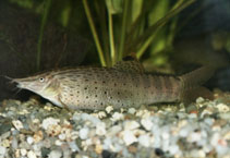 Image of Syncrossus beauforti (Chameleon loach)