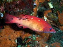 Image of Bodianus dictynna (Redfin hogfish)