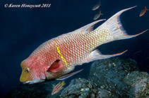 Image of Bodianus diplotaenia (Mexican hogfish)