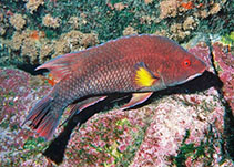 Image of Bodianus insularis (Island hogfish)