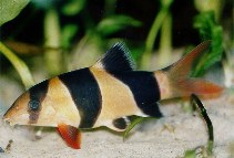 Image of Chromobotia macracanthus (Clown loach)