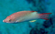 Image of Bodianus neilli (Bay of Bengal hogfish)