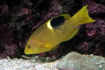 Image of Bodianus perditio (Golden-spot hogfish)