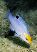 Image of Bodianus speciosus (Blackbar hogfish)