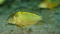 Image of Corydoras splendens (Emerald catfish)