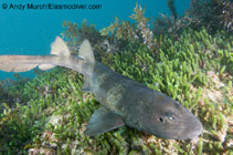 Image of Brachaelurus waddi (Blind shark)