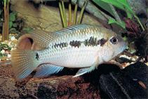 Image of Bujurquina peregrinabunda
