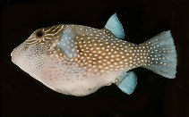 Image of Canthigaster amboinensis (Spider-eye puffer)