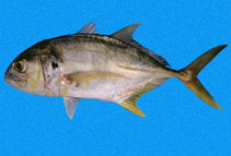 Image of Caranx caninus (Pacific crevalle jack)