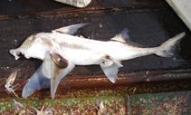 Image of Callorhinchus capensis (Cape elephantfish)