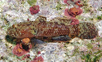 Image of Callogobius centrolepis (Centrescale goby)