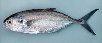 Image of Caranx crysos (Blue runner)