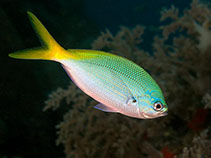 Image of Caesio cuning (Redbelly yellowtail fusilier)