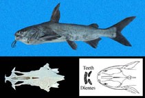 Image of Cathorops dasycephalus (Bigbelly sea catfish)