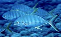 Image of Carangoides ferdau (Blue trevally)