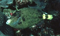Image of Cantherhines fronticinctus (Spectacled filefish)