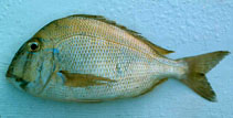 Image of Calamus leucosteus (Whitebone porgy)