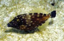Image of Cantherhines macrocerus (American whitespotted filefish)