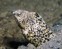 Image of Callechelys marmorata (Marbled snake eel)