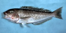 Image of Caulolatilus microps (Grey tilefish)