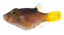 Image of Canthigaster rapaensis