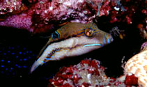 Image of Canthigaster supramacula (West African sharpnose-puffer)