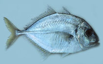 Image of Carangoides talamparoides (Imposter trevally)