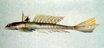 Image of Callionymus valenciennei (Valenciennes' dragonet)
