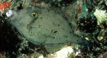 Image of Cantherhines verecundus (Shy filefish)