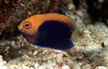 Image of Centropyge acanthops (Orangeback angelfish)