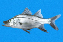 Image of Centropomus armatus (Armed snook)