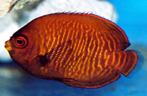 Image of Centropyge aurantia (Golden angelfish)
