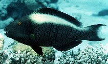 Image of Cetoscarus bicolor (Bicolour parrotfish)