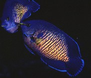 Image of Centropyge bispinosa (Twospined angelfish)