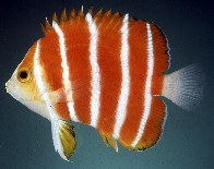 Image of Centropyge boylei (Peppermint angelfish)