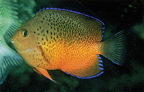 Image of Centropyge ferrugata (Rusty angelfish)