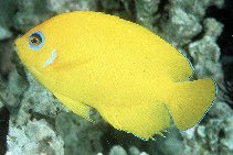 Image of Centropyge flavissima (Lemonpeel angelfish)