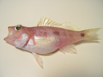 Image of Centropristis fuscula (Twospot sea bass)