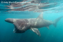 Image of Cetorhinus maximus (Basking shark)