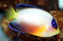 Image of Centropyge multicolor (Multicolor angelfish)