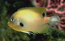Image of Centropyge nigriocella (Blackspot angelfish)