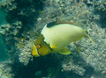 Image of Cetoscarus ocellatus (Spotted parrotfish)
