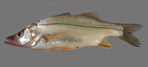 Image of Centropomus parallelus (Fat snook)