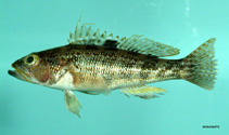 Image of Centropristis philadelphica (Rock sea bass)