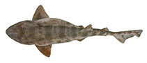 Image of Cephaloscyllium variegatum (Saddled swellshark)