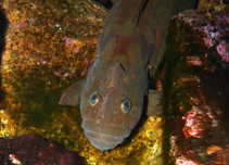 Image of Cebidichthys violaceus (Monkeyface prickleback)