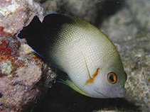 Image of Centropyge vrolikii (Pearlscale angelfish)
