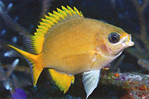 Image of Chromis analis (Yellow chromis)